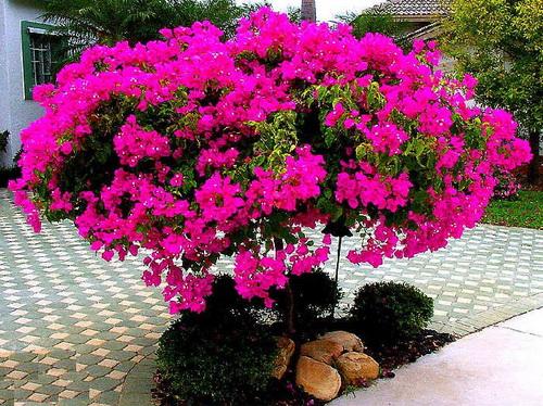 Contoh Deskripsi Tentang Bunga Bugenvil Bunga Kertas Dalam Bahasa Inggris Dan Artinya Ruangbahasainggris Com