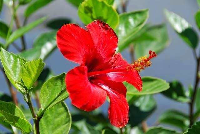 Contoh Deskripsi Tentang Bunga Kembang Sepatu dalam Bahasa
